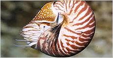 casse-tête nautilus